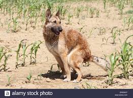 belgian sheepdog laekenois dog belgian shepherd laekenois pooping in a field stock