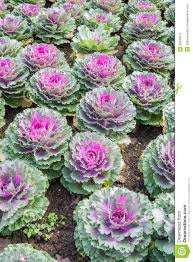 purple ornamental cabbage plants stock image image 36596575