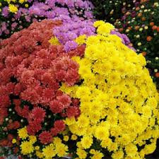 Picture Of Mums The Flowers - fill a large container with mums for fall color garden club