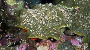 coral spawning flower garden banks national marine sanctuary