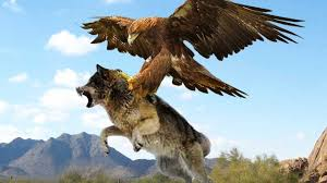 10 most amazing eagle attacks including eagle vs wolf