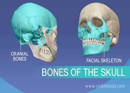 How Many Bones Form The Cranium Axial Skeleton Learn Skeleton Anatomy