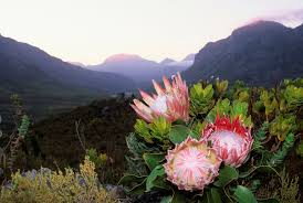 protea flower king protea south africa s national flower