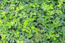 pentas flower pentas plant care how to grow pentas flowers