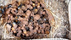 history of a bumblebee nest the long version youtube