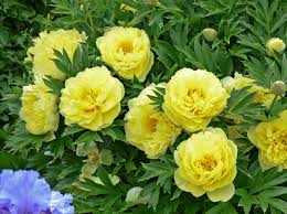yellow peonies grower tips for garden intersectional and tree peonies walters