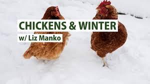preparing your backyard chickens for winter primex garden center