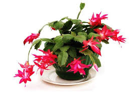 christmas plant caring for christmas cactus