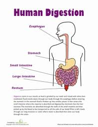 human digestion worksheet education com