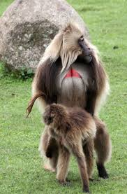 coke photography 204 best primates old world gelada theropithecus gelada images
