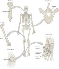 bone classification anatomy and physiology