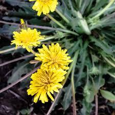 plants native to russia russian dandelion rubber root taraxacum kok saghyz seeds all