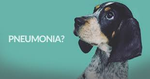 bluetick coonhound nh anyone with lungs can get pneumonia u2014including our pets american
