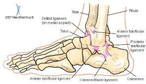 Talus Ligaments Anatomy Of The Ankle Ankle Breaker