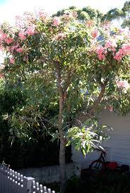 propagating australian native plants 421 best australian native plants images on pinterest native