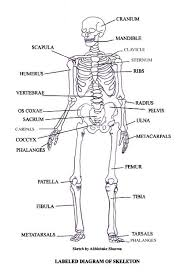 human skeleton with muscles labeled