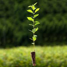 native hedging plants uk gardenersdream ulmus glabra 60 90cm 2 3ft bare root wych elm