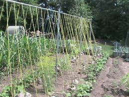 finished setup of bean trellis eric u0027s organic gardening blog