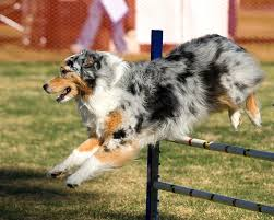 australian shepherd in california dogbreedz photo keywords california shepherd