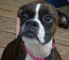 boxer dog for adoption support mokan boxer rescue at mardi gras yappy hour pete and