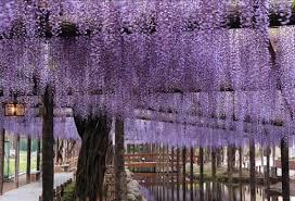 Trellis For Wisteria Japan Tours U0026 Travel Depart From Nagoya Shinshu Gorgeous