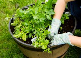 vegetable container gardening getting started