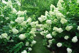 pruning hydrangeas dirt simple