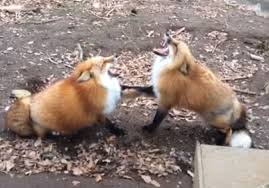 Meme Fox - fact check a red fox doesn t scream when it finds its soulmate