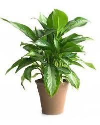 aglaonema house plants care tips many aglaonema varieties are