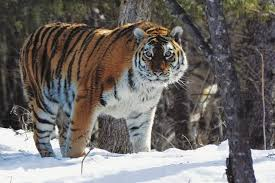 why i brave freezing weather to wait for the siberian tiger