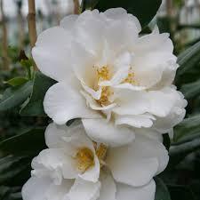 buy camellia camellia japonica u0027silver anniversary u0027 delivery by