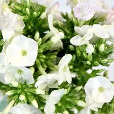 phlox flower white flower