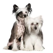 affenpinscher loyalty breed of the week chinese crested video simply for dogs