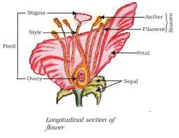 Style Flower Part - ncert biology solution longitudinal section of flower name the