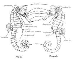 Male And Female Anatomy How Can I Tell The Difference Between A Female And A Male Seahorse