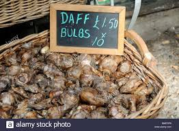 daffodil bulbs narcissus for sale in a basket hackney city farm