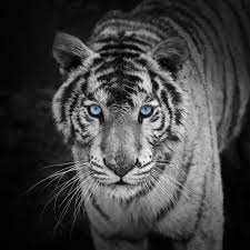 photographic by oakleaf s blue eyed white tiger