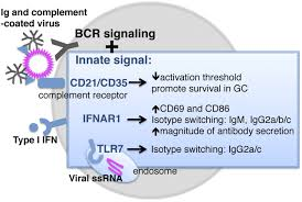 The B Protective B Cell Responses To Flu U2014no Fluke The Journal Of