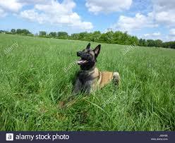 belgian malinois dog belgian malinois dog sitting stock photos u0026 belgian malinois dog