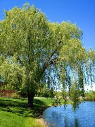download how to plant a weeping willow tree solidaria garden