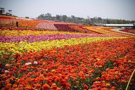 florist san diego it s a time to visit the carlsbad flower fields the