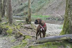 2 types of boxer dogs boxer dog calorie requirements boxer dog info and health tips
