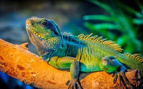 imágenes de iguanas verdes iguana verde características y nombres cuidados y nombres para tu