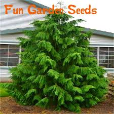 2016 japanese pine tree seeds big ornamental plant tree