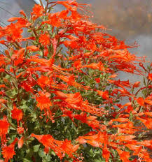 calif native plants drought tolerant plants for california bay area garden