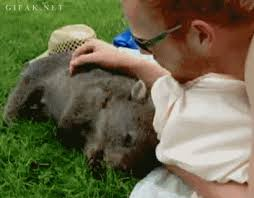 Wombat Memes - wombat gif find download on gifer 410x320 px