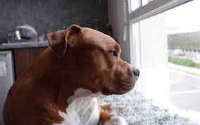 american pitbull terrier traits this city in kentucky passed an unfair pit bull ban u2013 act now to