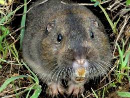 los angeles gopher trapping removal all city trapping