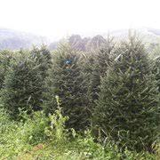 clark u0027s christmas tree farm christmas trees 235 pusey mill rd