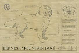 What Size Paper Are Blueprints Printed On by Bernese Mountain Dog Drawing Animal Blueprint Company